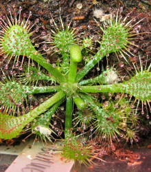 Drosera burkeana - semené drosery - semiačka - 15 ks