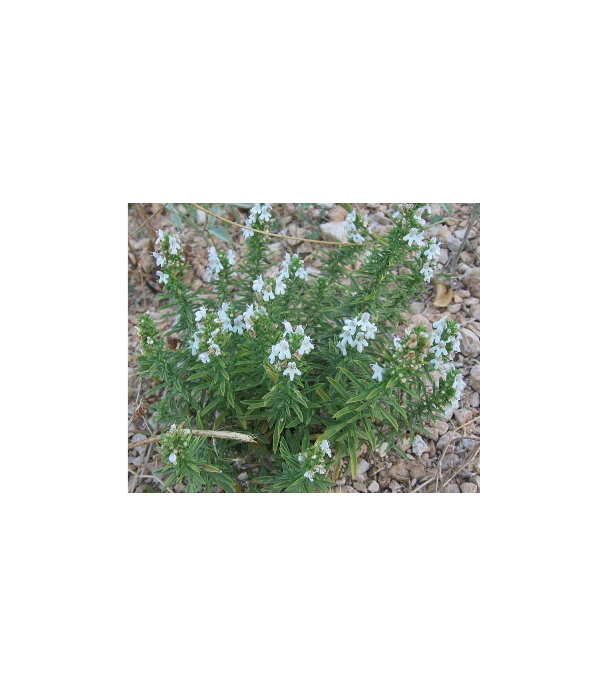 Bio saturejka horská - semená saturejky - semiačka - 0,3 gr