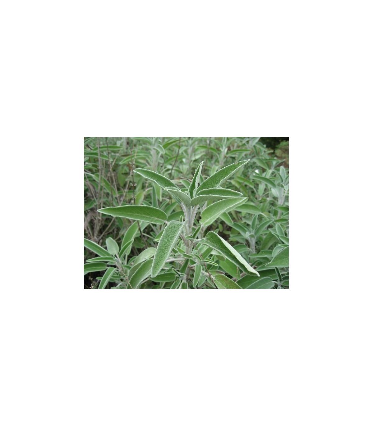 Bio šalvia lekárska - semená šalvie - semiačka - 0,3 gr