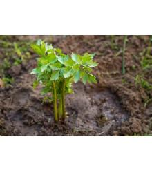 Bio ligurček lekársky - Levisticum officinale - semená - 0,5 g