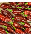 Bhut Jolokia čokoládová - Capsicum chinense - chilli papričky - 5 ks