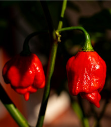 Chilli - Trinidad Scorpion Moruga - Capsicum sinense - semená chilli - semiačka - 5 ks
