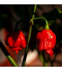 Chilli Trinidad Scorpion Moruga červené - Capsicum Chinense - semená - 5 ks