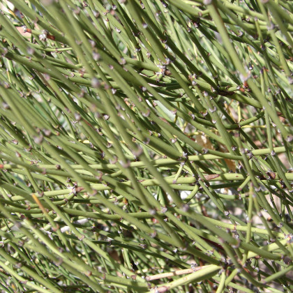 Chvojník viridis - Ephedra viridis - semená chvojníka - semiačka - 8 ks