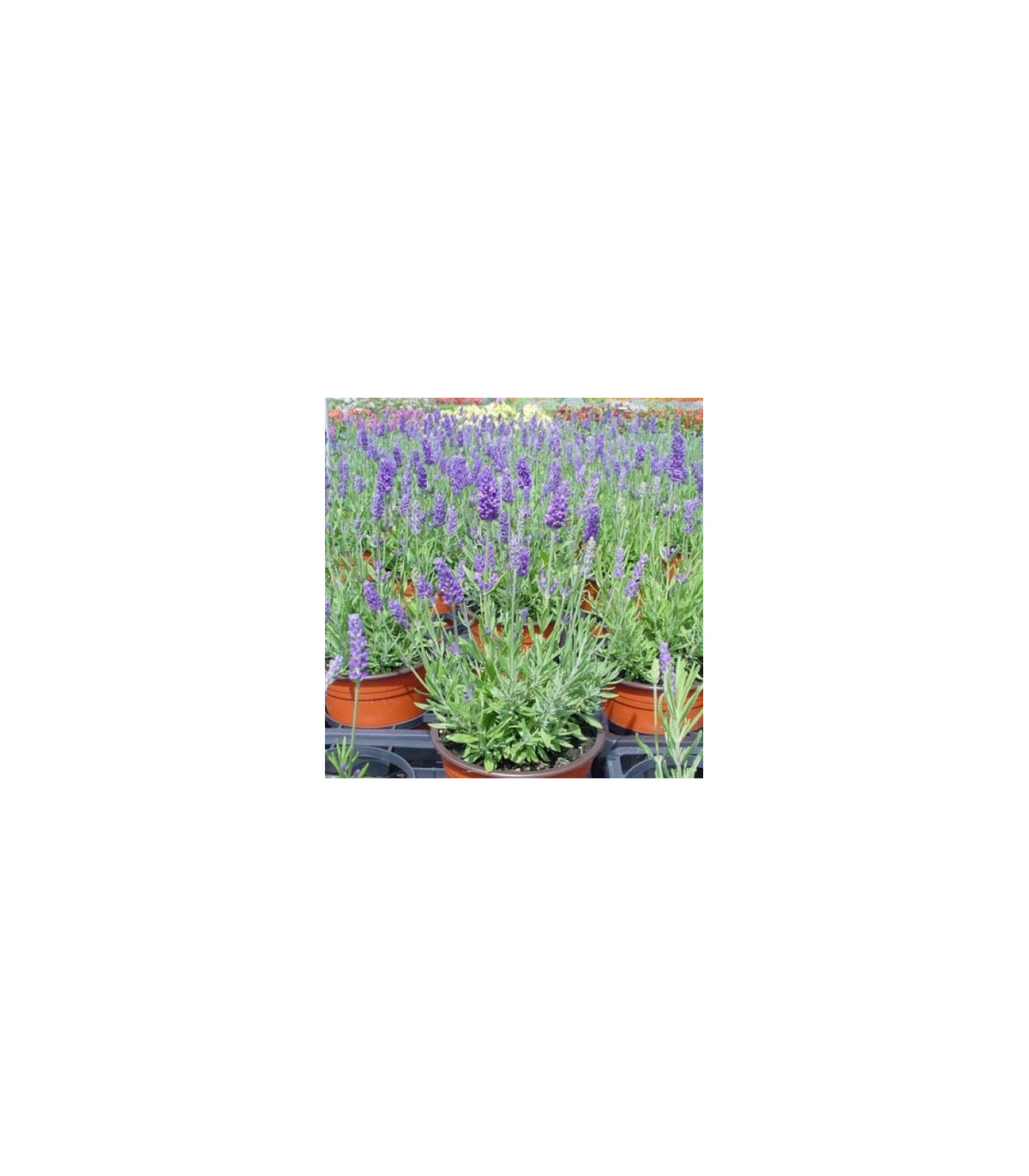 Levanduľa lekárska Lavance špeciál - Lavandula angustifolia - semená levandule - semiačka - 15 ks