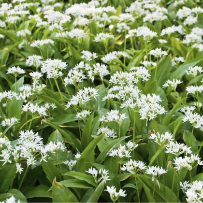 Cesnak medvedí - Allium ursinum -  cibule - 3 ks