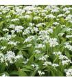Cesnak medvedí - cibule - Allium ursinum - predaj holandských cibulovín - 1 ks