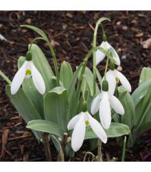 Snežienka Elwésova - Galanthus elwesii - cibuľoviny - 3 ks