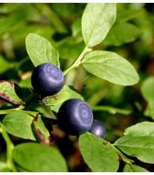 Čučoriedka čierna - Vaccinium myrtillus - semená čučoriedky - semiačka - 7 ks