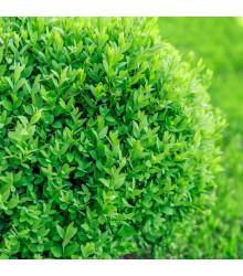 Krušpán vždyzelený - Buxus sempervirens - semená - 10 ks