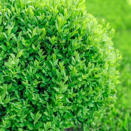 Krušpán vždyzelený - Buxus sempervirens - semená krušpána - semiačka - 10 ks