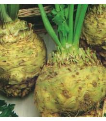 Zeler buľvový - Apium graveolens - Giant prague - semená zeleru - semiačka - 0,3 gr