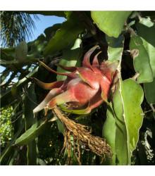 Pithaya červená - Hylocereus costaricensis - semená - semiačka - 4 ks