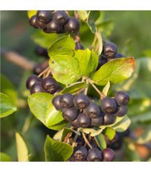 Arónia - čierny žeriav - Aronia arbutifolia - semená - 7 ks