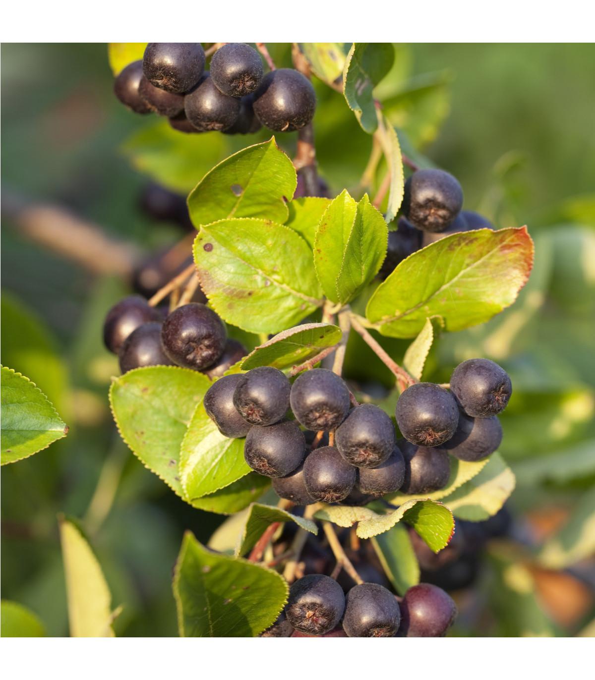Arónia - čierny žeriav - Aronia arbutifolia - semená arónie - semiačka - 7 ks