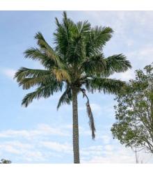 Palma madagaskarská - Beccariophoenix madagascariensis - semená - 2 ks
