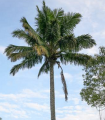 Palma Beccariophoenix madagaskarská - semená palmy - semiačka - 2 ks
