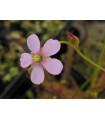 Rosička Dielsiana - Drosera dielsiana - semená - 15 ks