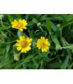 Arnika liečivá - Arnica chamissonis - semená arniky - semiačka - 13 ks