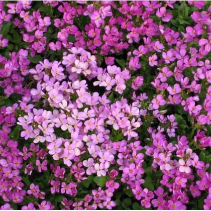 Arábka arendsova ružová - Arabis arendsii - semená - 110 ks