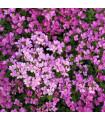 Arábka arendsova - Arabis arendsii - semená - 0,03 g