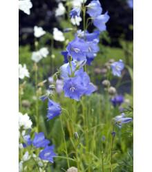 Zvonček broskyňolistý modrý - Campanula persicifolia - semená - 0,2 g