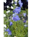 Zvonček broskyňolistý modrý - Campanula persicifolia - semená - 2500 ks