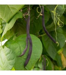 Fazuľa kolíková modrá Blauhilde - Phaseolus vulgaris - semená fazule - semiačka - 20 ks