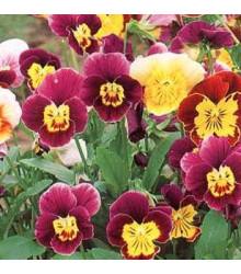 Fialka rohatá zmes Bambini - Viola cornuta - semená fialky - semiačka - 0,2 gr