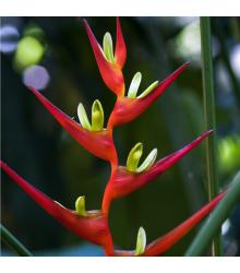 More about Helikónia farinosa červená - Heliconia farinosa - semená - 3 ks