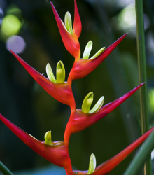 Helikonia farinosa červená - Heliconia farinosa - semená helikonie - semiačka - 3 ks