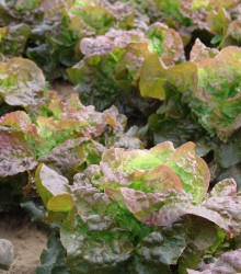 Šalát hlávkový červený Rosemarry - Lacrusa sativa - semená šalátu - semiačka - 200 ks