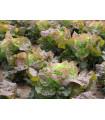 Šalát hlávkový červený Rosemarry - Lacrusa sativa - semená šalátu - semiačka - 0,3 gr