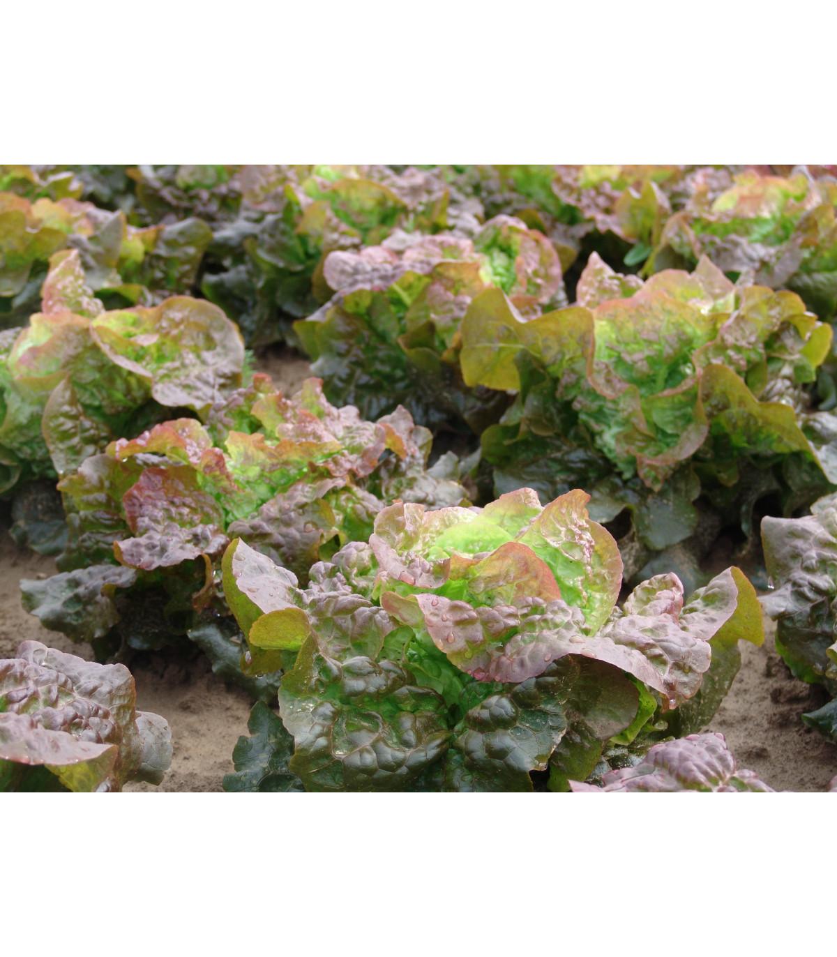 Šalát hlávkový červený Rosemarry - Lacrusa sativa - semená - 200 ks