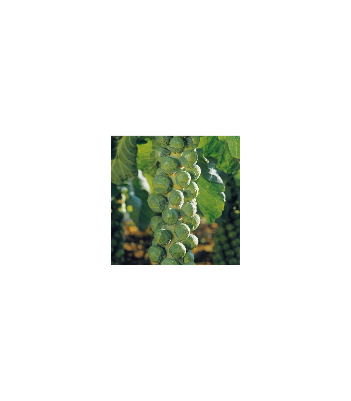 Kel ružičkový Hilds ideal - Brassica oleracea - semená kelu - semiačka - 0,5 gr