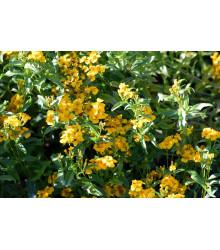 Aksamietnica mexická - Mexický taragon - Tagetes lucida - semená - 0,2 g