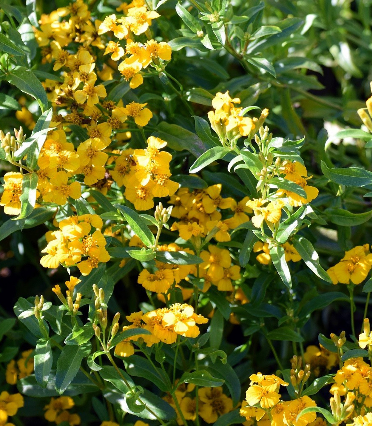 Aksamietnica mexická - Mexický taragon - Tagetes lucida - semená aksamietnice - semiačka - 0,2 gr