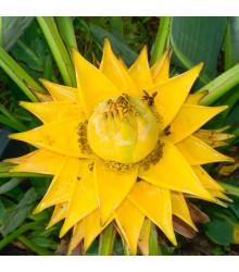 Banánovník snežný - Ensete glaucum - semená banánovníka - semiačka - 3 ks