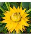 Banánovník snežný - Ensete glaucum - semená banánovníka - 3 ks