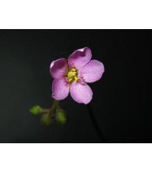 Rosnatka - Drosera nidiformis - semená rosnatky - semiačka - 15 ks