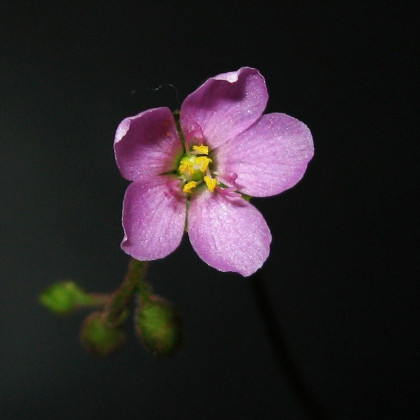 Rosička nidiformis - Drosera nidiformis - semená - 15 ks
