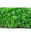 Pamajorán obyčajný - Oregano Zaatar - Origanum syriaca - semená pamajoránu - semiačka - 50 ks