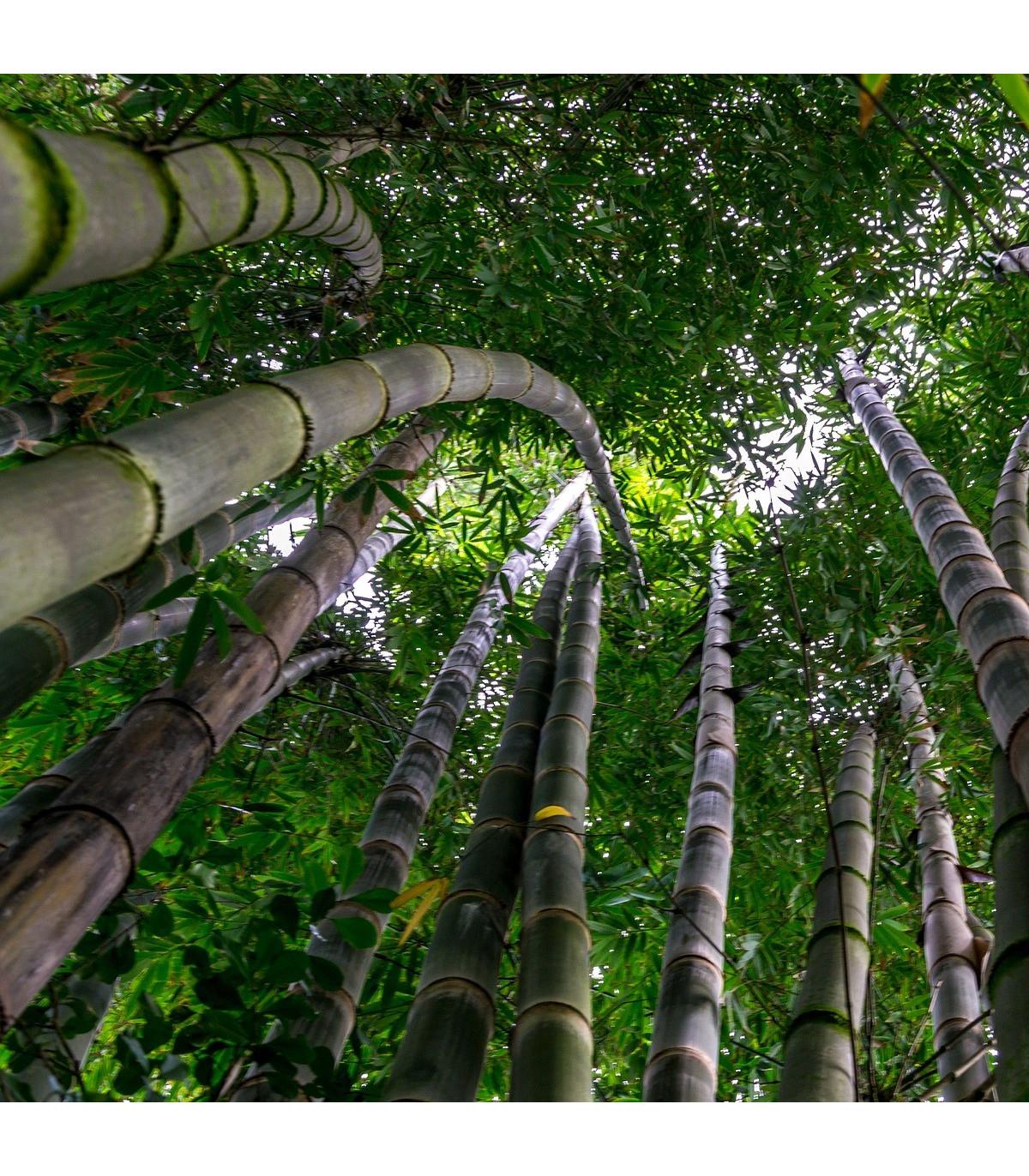 Kráľ bambusov - Phyllostachys pubescens - semená bambusu - semiačka - 3 ks