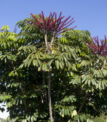 Šeflera actinophylla - Schefflera actinophylla - semená - 6 ks