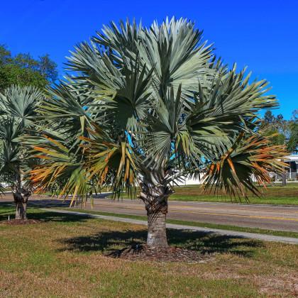 Palma Braheova - Brahea armata - semená palmy - semiačka - 2 ks