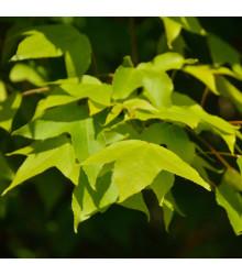 Javor oblongum - Acer oblongum - bonsaj - semená javora - 5 ks