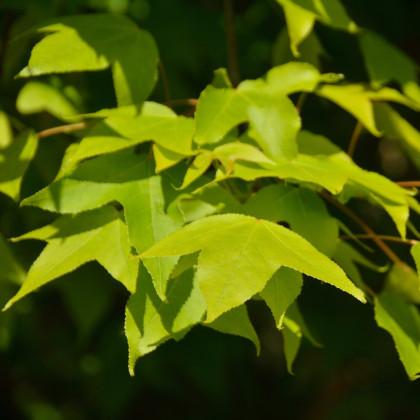 Javor oblongum - Acer oblongum - semená javora - semiačka - 5 ks