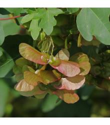 Javor opalus - Acer opalus - bonsaj - semená javora - 5 ks