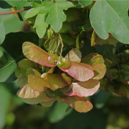 Javor opalus - Acer opalus - semená javora - semiačka - 5 ks
