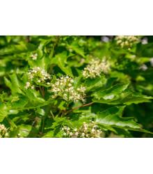 Javor tatarský - Acer tataricum - bonsaj - semená - 5 ks